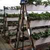 Hydroponic strawberries system