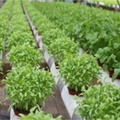 Herb Hydroponic Growing Cultivation In NFT System